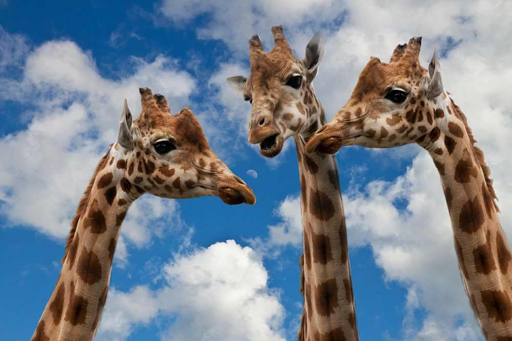 3 giraffes appearing to converse together